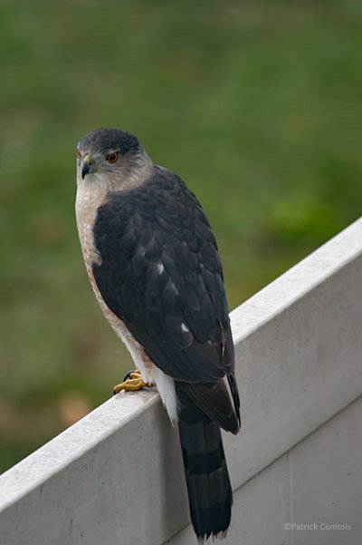 SharpShinnedHawk140-Edit