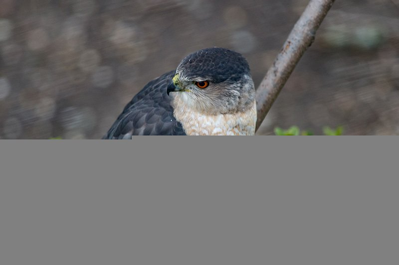 SharpShinnedHawk83 copy